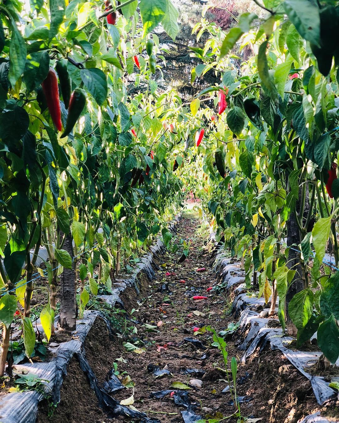 champ de piment